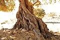 Tamri alte Arganbäume 05.jpg