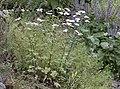 Tanacetum parthenium, Giresun 2017-07-07 01-2.jpg