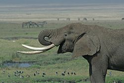 Tanzanian Elephant edit ds.jpg