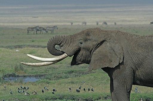 Tanzanian Elephant edit ds