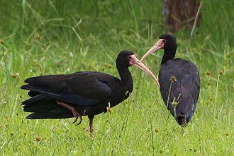 Sharp-tailed ibis - Image: Tapicuru de cara palida