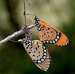 Tawny Coster (Acraea terpsicore) mating in Narshapur, AP W IMG 0914.jpg