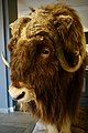 Taxidermied Muskox (Ovibos moschatus, utstoppa moskusokse), Oppdal Turisthotell, Norway (previously on display at the tourist information?) Photo 2019-04-09 head F.jpg