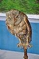 Taxidermied Owl - Palta - North 24 Parganas 2012-04-11 9591.JPG