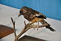 Taxidermied Treepie - Palta - North 24 Parganas 2012-04-11 9592.JPG