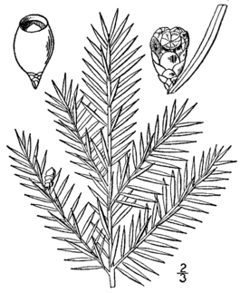 Taxus canadensis drawing.png