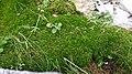 Tayloria serrata 2.jpg