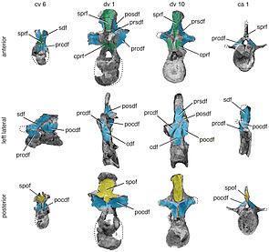 Repräsentative Hals-, Rücken-, und Schwanzwirbel von Tazoudasaurus.
