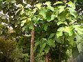 Teak Tree close up - panoramio.jpg
