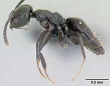 Technomyrmex albipes casent0055965 profile 1.jpg