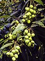 Tender mango (8705348841).jpg