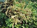 Terminalia paniculata flowers 4.JPG