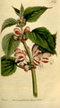 The Botanical Magazine, Plate 172 (Volume 5, 1792).png