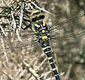 The Golden-ringed Dragonfly, Cordulegaster boltonii - Flickr - gailhampshire.jpg