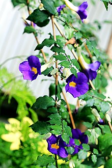 Thunbergia erecta Prague 2011 2.jpg