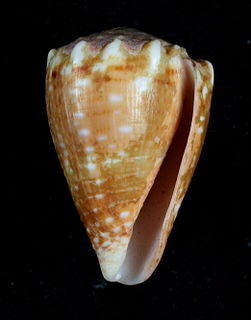 <i>Conus tiaratus</i> species of mollusc
