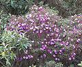 Tibouchina lepidota, a Siete Cueros bush (9976450983).jpg