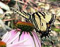 Tiger Swallowtail on a Coneflower (178510775).jpg