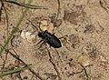 Tiger beetle (1311980344).jpg
