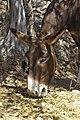 Tired Donkey (1372756531).jpg