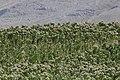 Tobacco field, Malatya 02.jpg