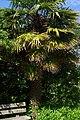 Trachycarpus fortunei, Conservatoire botanique national de Brest 03.jpg