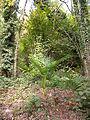 Trachycarpus fortunei MonteCaslano2.JPG