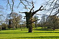 Tree at Cockington Court (3055).jpg