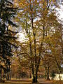 Tree in Autumn - panoramio.jpg