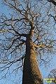 Tree in winter (SG) (25524244596).jpg