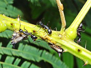 Treehopper - Image: Treehopper Carpenter Ants
