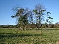 Trees in field, Eslington - geograph.org.uk - 79298.jpg