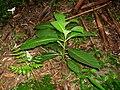 Trichodesma calycosum - 台湾秋海棠 by 石川 Shihchuan - 001.jpg