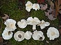 Tricholoma subresplendens (Murrill) Murrill 270284.jpg