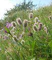 Trifolium arvense 150807.jpg