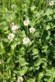 Trifolium repens.jpg
