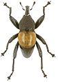 Trigonopterus helios holotype - ZooKeys-280-001-g035.jpg