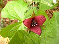 Trillium vaseyi - 20070425.jpg