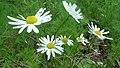 Tripleurospermum inodorum.jpg