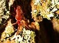 Trombidium holosericeum 4 Luc Viatour.jpg
