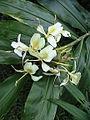 Tropical white flower.JPG