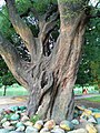 Trunk of a big tree in Ramna Park .jpg
