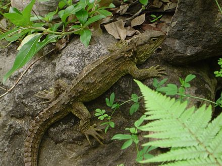 The tuatara is a unique component of New Zealand's biodiversity and the only surviving species in the order Sphenodontia. Tuatara adult.jpg