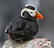 Tufted Puffin Alaska (cropped)