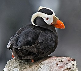 Tufted Puffin Alaska (cropped).jpg