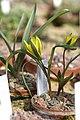 Tulipa heteropetala 04.jpg