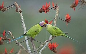 빨간 꽃이 핀 나뭇가지 위에서 연두색 새 두 마리가 있고, 수컷 새가 암컷 새에게 먹이를 주면서 구애하고 있다.