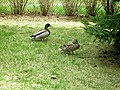 Two Mallard Ducks courting.jpg