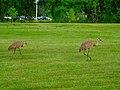 Two Sandhill Cranes - panoramio.jpg