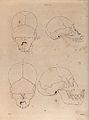 Two higher primate skulls compared. Lithograph by G H Ford. Wellcome V0021475.jpg